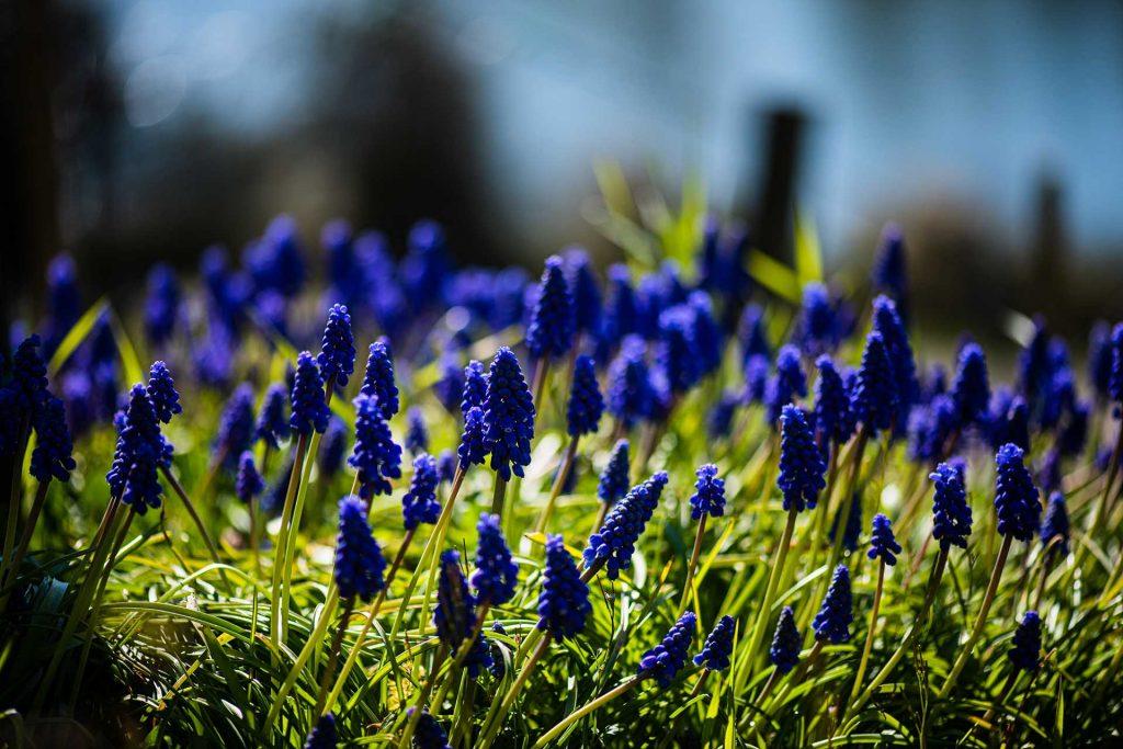 Im Frühjahr blüht die Traubenzhyazinthe zwischen den Rebstöcken.